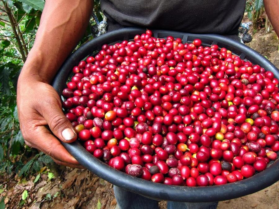 bell lap coffee-Elsalvador